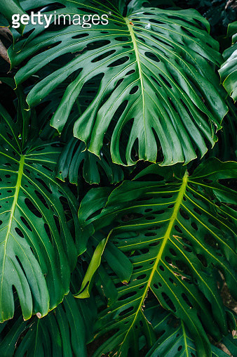 Monstera deliciosa or Swiss cheese plant in a garden - gettyimageskorea