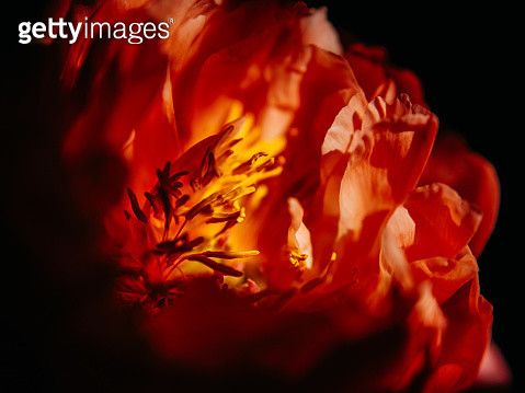 Red rose in full blossom. - gettyimageskorea