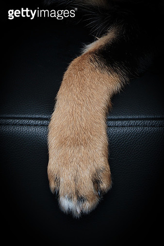 Tan and Brown dog Paw on a back background - gettyimageskorea
