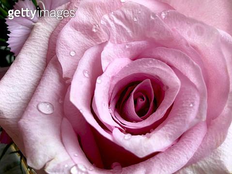 Close-up of a rose at Nidau, Switzerland - gettyimageskorea