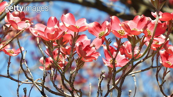 Close-Up Of Red Cherry Blossoms In Spring - gettyimageskorea