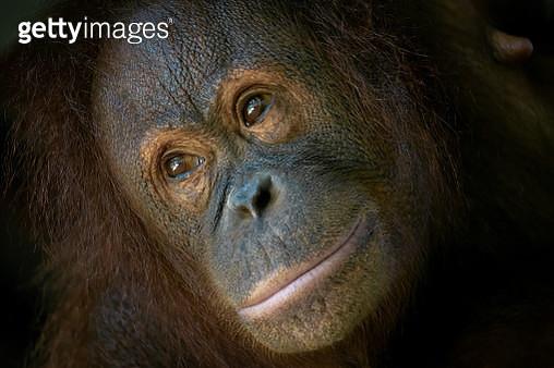 Close-Up Head Shot of Orangutan Staring Far Away - gettyimageskorea