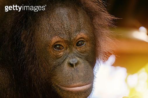 Close-Up Head Shot of Orangutan Looking at Camera - gettyimageskorea