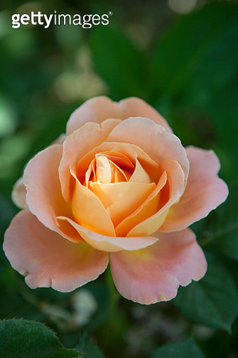 Close-Up Of Pink Rose Plant - gettyimageskorea