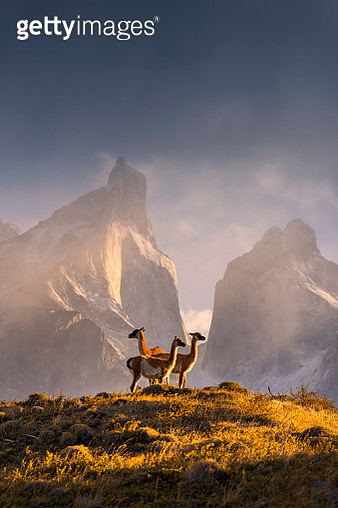 Three Guanaco and Torres del Pine National Park in the morning.Chile. - gettyimageskorea