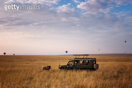 Unbelievable scene of a male lion crossing directly in front of a safari vehicle with hot air balloons in the background at sunrise in the Masai Mara, Kenya. - gettyimageskorea