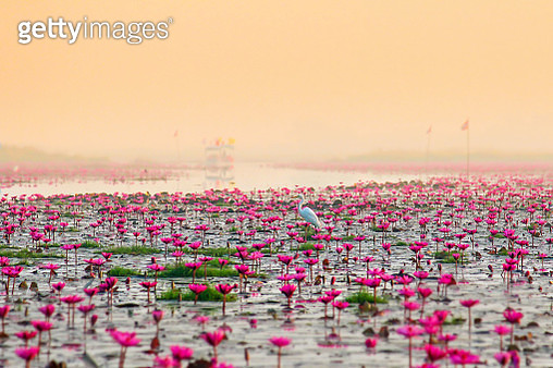 Close-Up Of Pink Flowers Growing In Lake Against Clear Sky - gettyimageskorea