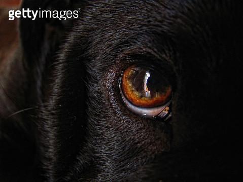Close-Up Portrait Black Dog - gettyimageskorea