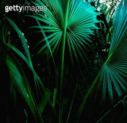 US Virgin Islands, St. Thomas, Tropical leaves - gettyimageskorea