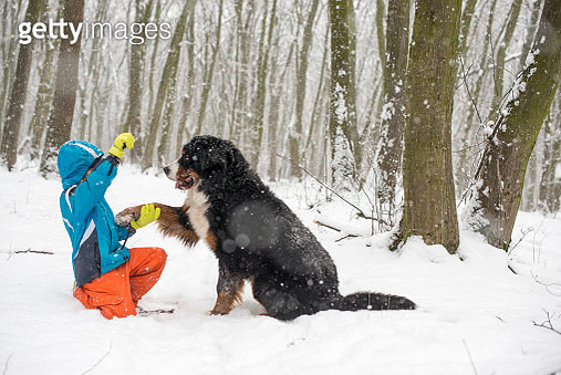 Little Boy  playing with bernese mountain dog, winter time, Transylvania - gettyimageskorea