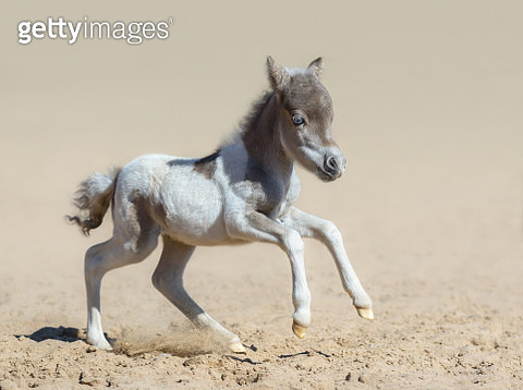 American miniature horse. Pinto newly born foal in motion. - gettyimageskorea