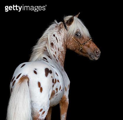 Portrait on black backgound of miniature horse - gettyimageskorea