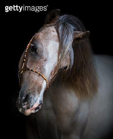 Portrait on black backgound of American Miniature Horse. - gettyimageskorea