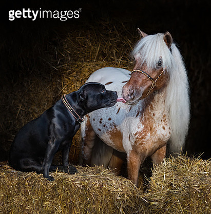 Staffordshire Bull Terrier dog and miniature horse - gettyimageskorea