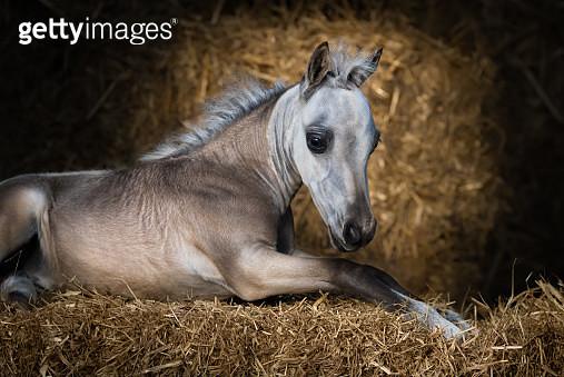 American Miniature Horse. Dun foal lying on straw. - gettyimageskorea