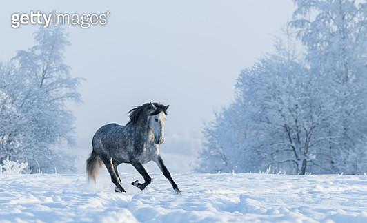 Winter snowy landscape. Galloping grey Spanish horse - gettyimageskorea