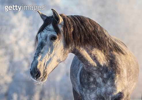 Winter portrait of Andalusian horse sunset light - gettyimageskorea