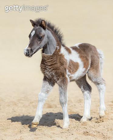 American miniature horse. Silver bay skewbald foal. - gettyimageskorea