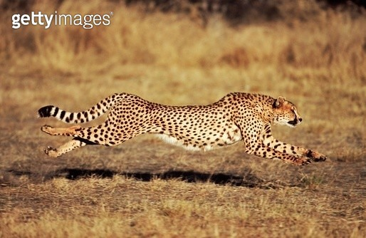 Front View of a Female Cheetah (Acinonyx jubatus) Running - gettyimageskorea