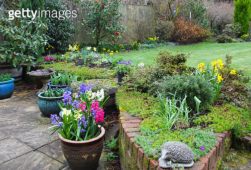 Domestic garden in early spring with daffodils in flower border and potio pots of hyacinth flowers, a camellia bush flowers against a fence in the background, Haslemere, Surrey, England, UK. - gettyimageskorea