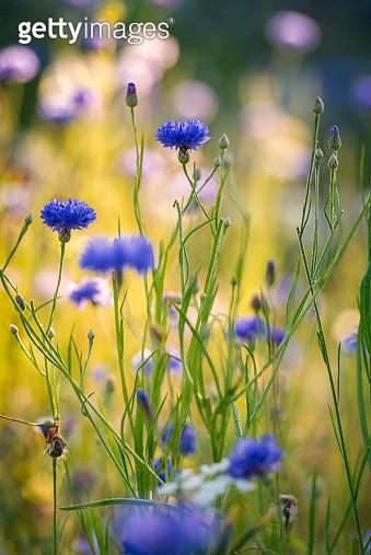 Summer flowers meadow in the morning - gettyimageskorea