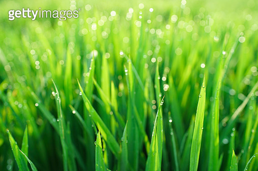 background of dew drops on bright green young rice plants - gettyimageskorea