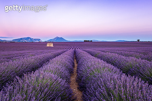 Lavender field at sunset, Valensole, Provence, France - gettyimageskorea
