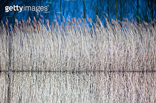 Lakeside reeds and their reflection - gettyimageskorea