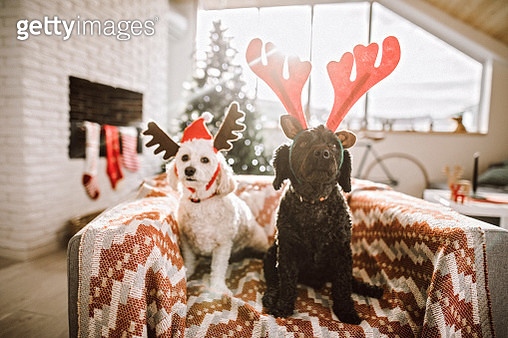 Adorable Pets Dressed As Reindeer - gettyimageskorea