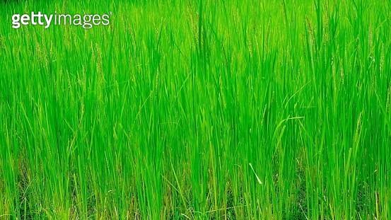 Rice - gettyimageskorea