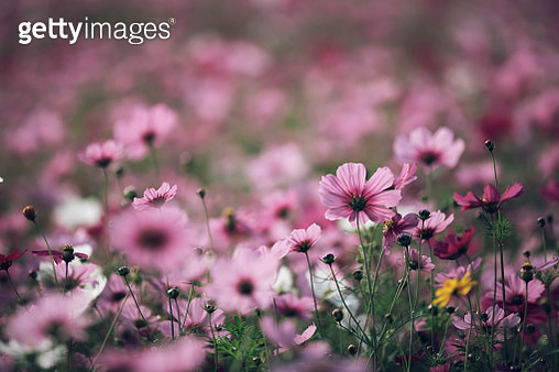 Close-Up Of Pink Cosmos Flowers On Field - gettyimageskorea