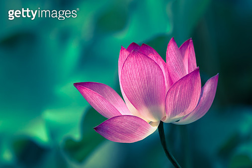Lotus water lily flower close-up with leaves in the background - gettyimageskorea