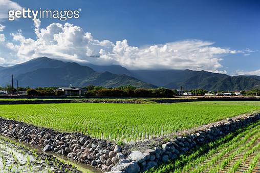 Rice fields - gettyimageskorea