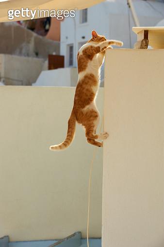 Cat climbing on white wall, Santorin, Cyclades, Greece - gettyimageskorea