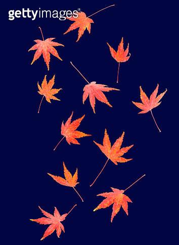 Autumnal maple leaves tumble across midnight blue - gettyimageskorea