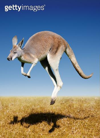 jumping red kangaroo - gettyimageskorea