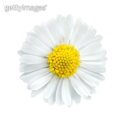 Daisies on white - gettyimageskorea