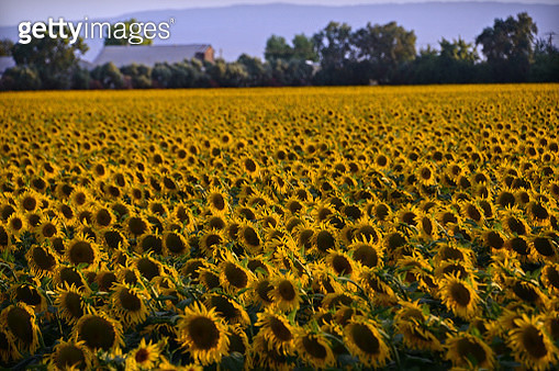 Sunflower Fields - gettyimageskorea