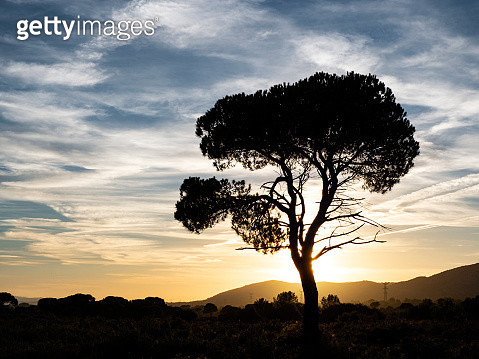 Landscape with the silhouette of an alone solitary tree (pine tree) in a great plain, sunset  with high clouds of orange and yellow color. - gettyimageskorea