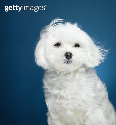 Maltese Dog, studio shot - gettyimageskorea
