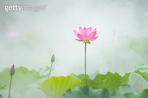 Foshan, China - May 24, 2019: A red lotus blossom in fog. - gettyimageskorea