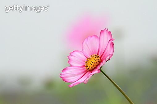 Lovely Pink - gettyimageskorea