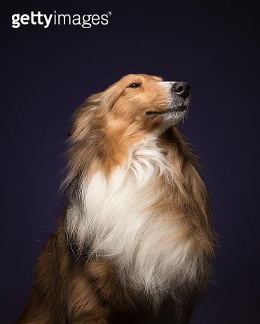 Shetland Sheepdog, studio shot - gettyimageskorea