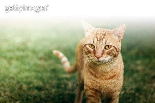Beige cat, walking towards camera, nature - gettyimageskorea