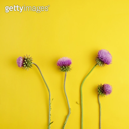 Four flowering purple thistles with green stems on yellow background - gettyimageskorea