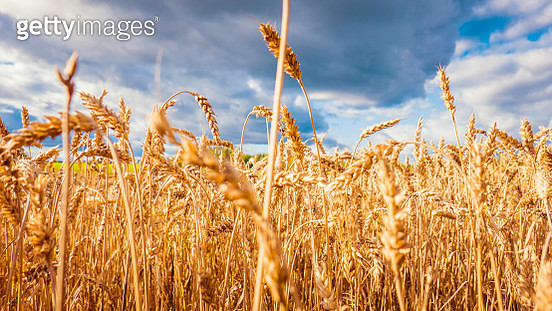 Close-up of a ripe wheat field in autumn time - gettyimageskorea