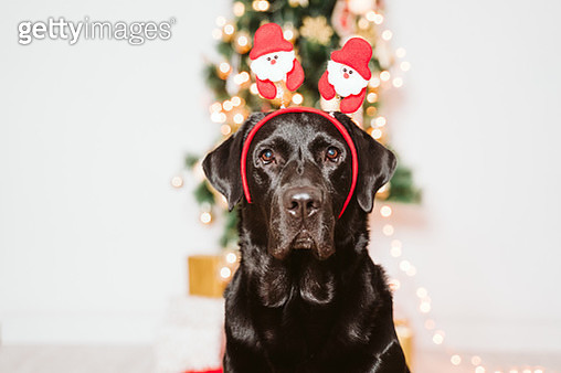 Dog By Christmas Tree And Gifts - gettyimageskorea