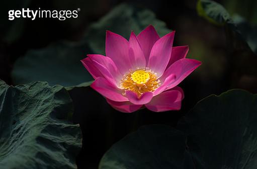 Closeup blooming beautiful pink lotus flower - gettyimageskorea