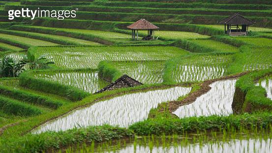 Jatiluwih rice terrace. - gettyimageskorea