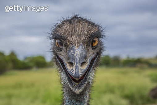 Close-Up of an Australian Emu - gettyimageskorea